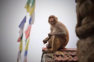 Affe in Kathmandu - der mußte nicht mit dem Bus mitfahren