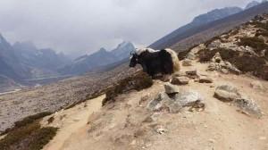 Ein Yak zeigt uns den Lobuche Peak mit 6.119m - jetzt haben wir ihn bestiegen