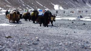 Eine Yakherde  - die unverzichtbaren Tragtiere in der Everestregion
