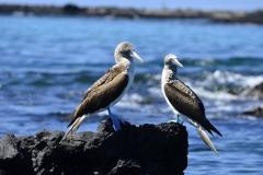 Typischer Blaufusstölpel auf Galapagos (Foto: LIFE EARTH Reisen)
