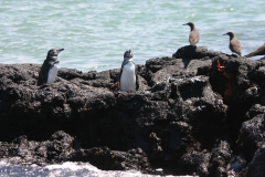 Einzigartige Galapagos-Pinguine (Foto: Patrick Lamp)