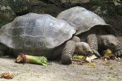 Riesenschildkröten haben Hunger (Foto: Sabine Holzer)