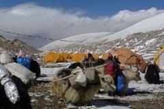 Die Yaks werden im ABC von der schweren Last befreit - 29-04-2011
