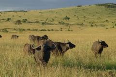 Büffelherde (Foto: Sabine Holzer)