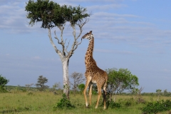 Giraffe (Foto: Sabine Holzer)