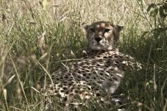 Gepard (Foto: Andreas Scharnagl)