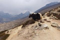 Ein Yak mit Lobuche Peak im Hintergrund (Foto: Wolfgang Klocker)