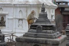 Affen in Kathmandu (Foto: Wolfgang Klocker)