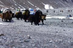 Eine Yakherde - die unverzichtbaren Tragtiere in der Everestregion (Foto: Wolfgang Klocker)