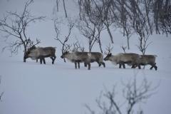 Eine Herde Rentiere zeigt uns den Weg (Foto: Erwin Reinthaler)